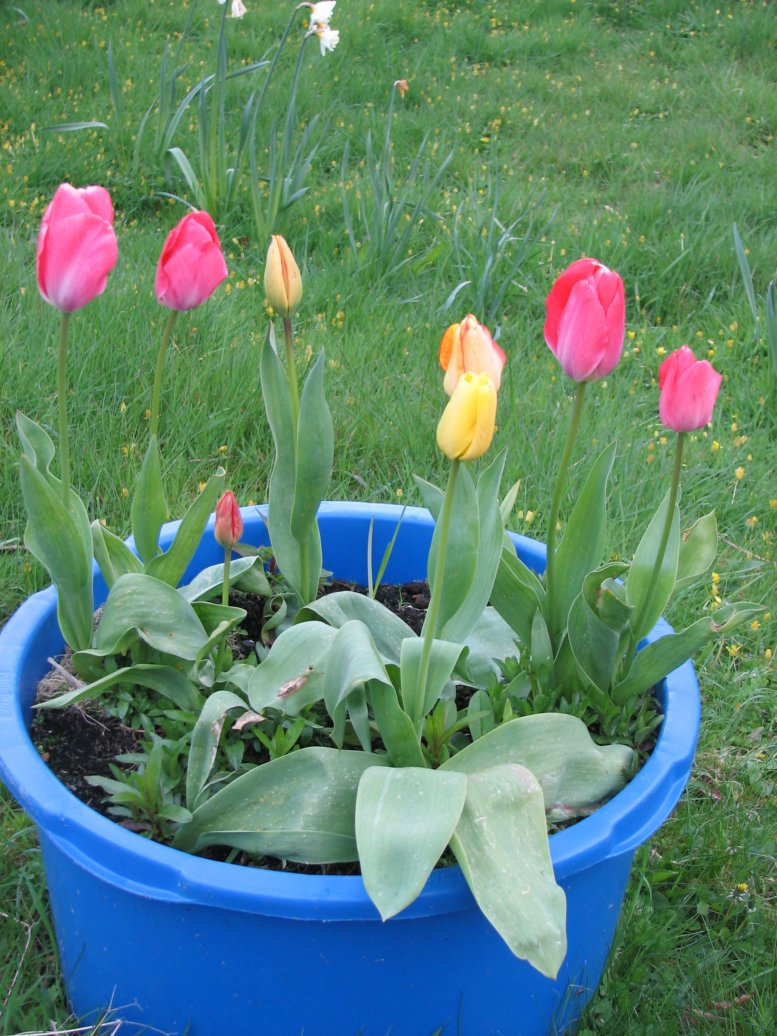 Not many, but there are a few tulips around and about