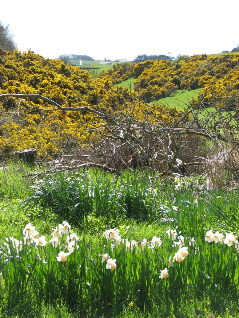 Daffodils, brash in the middle ground and the southern mini-valley (not ours) in the background. The gorse smelled amazing - and weirdly like coconut