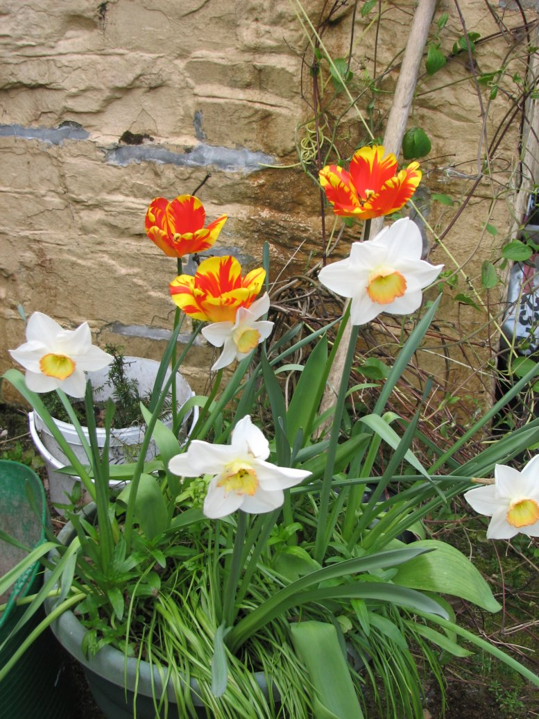 ...along with daffodils...