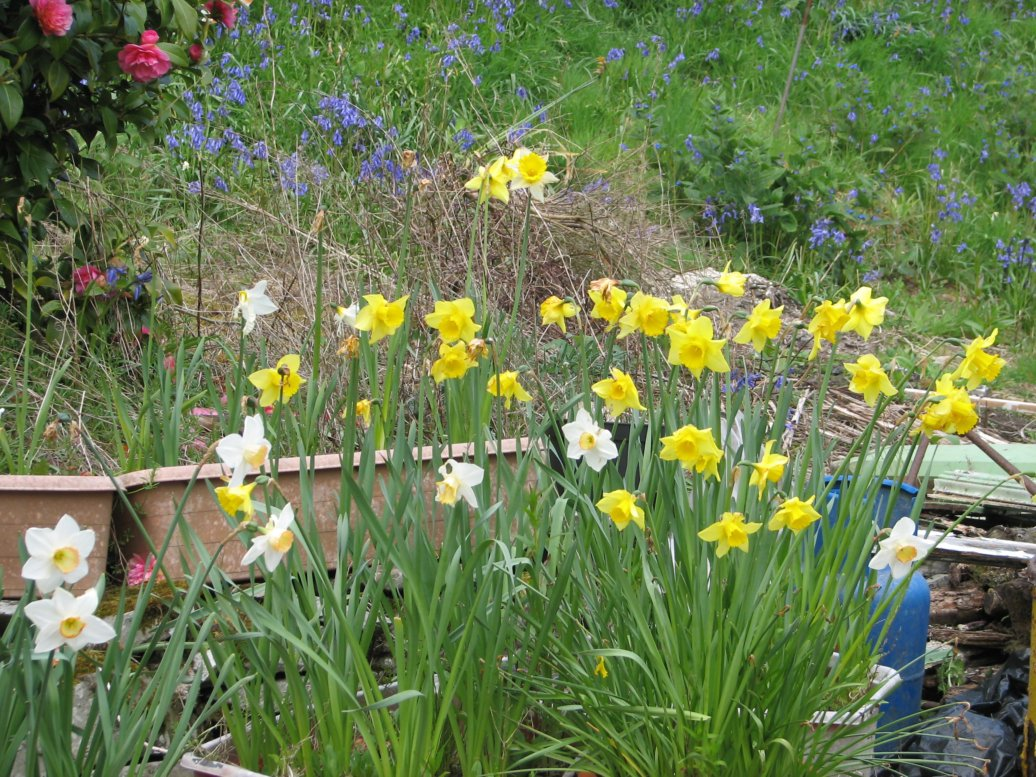 ...and more daffodils (up the bank between the house and the wooden shed - with the camellia sneaking in at the left)...