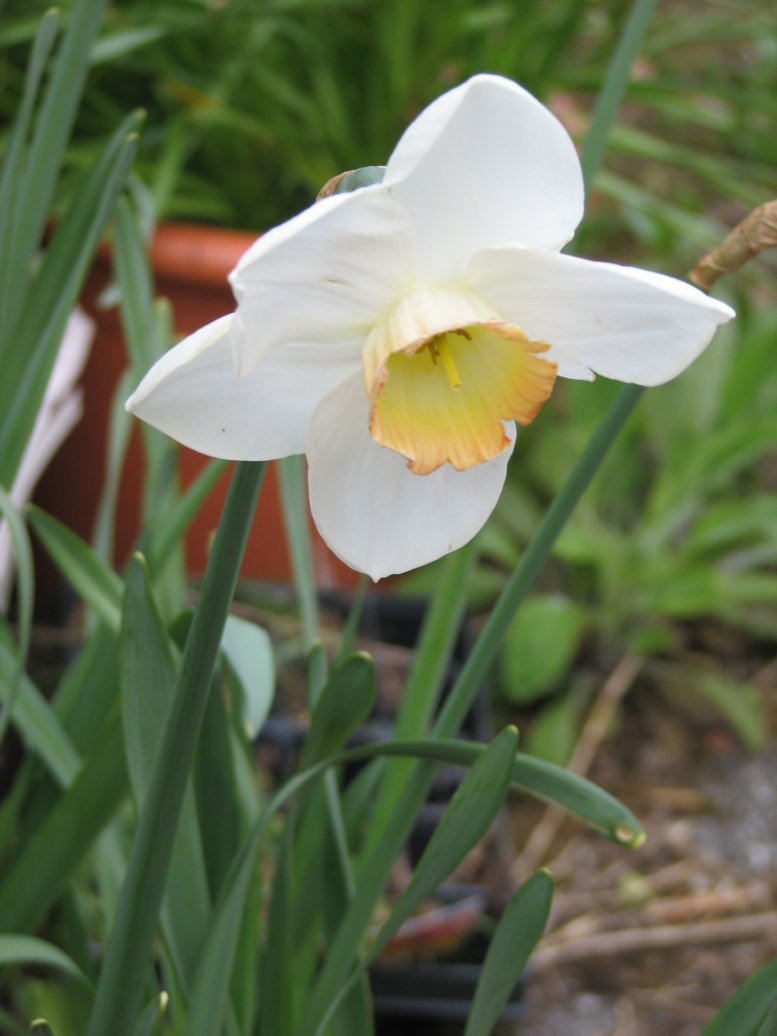 ...and more daffodils...