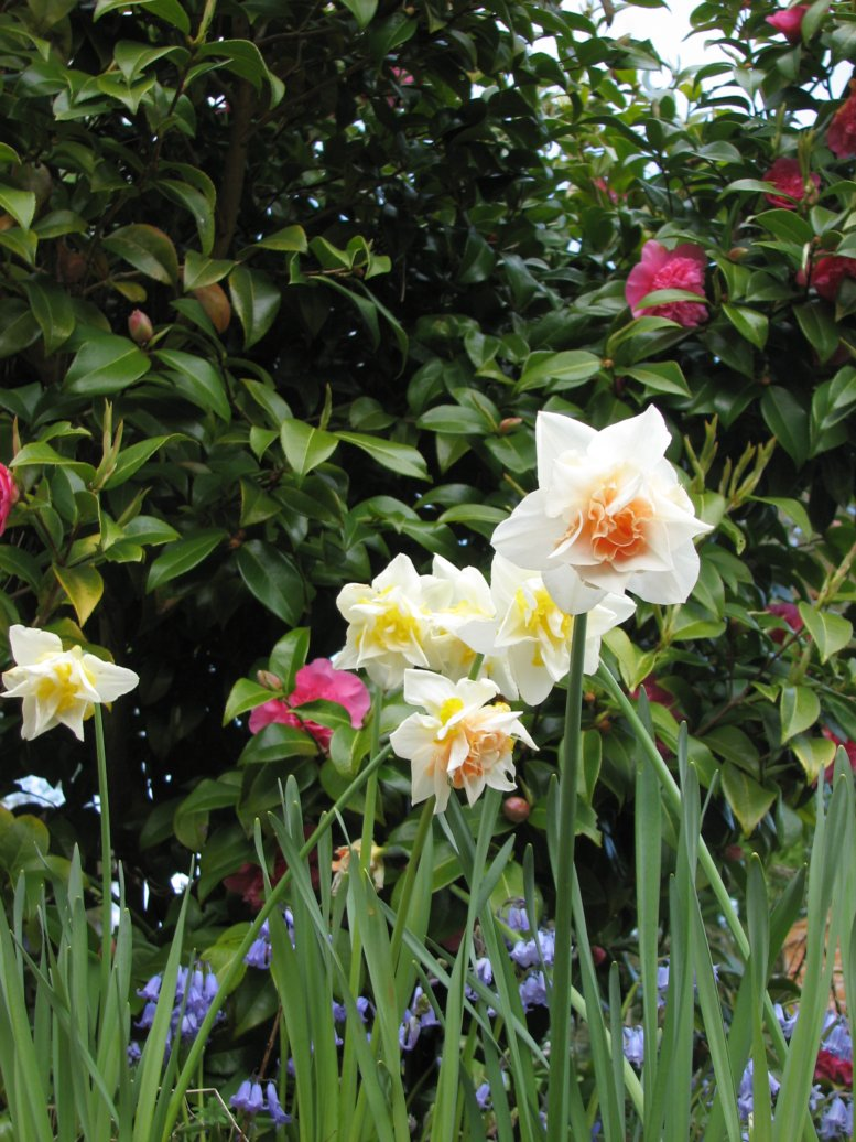 ...and even more daffodils!