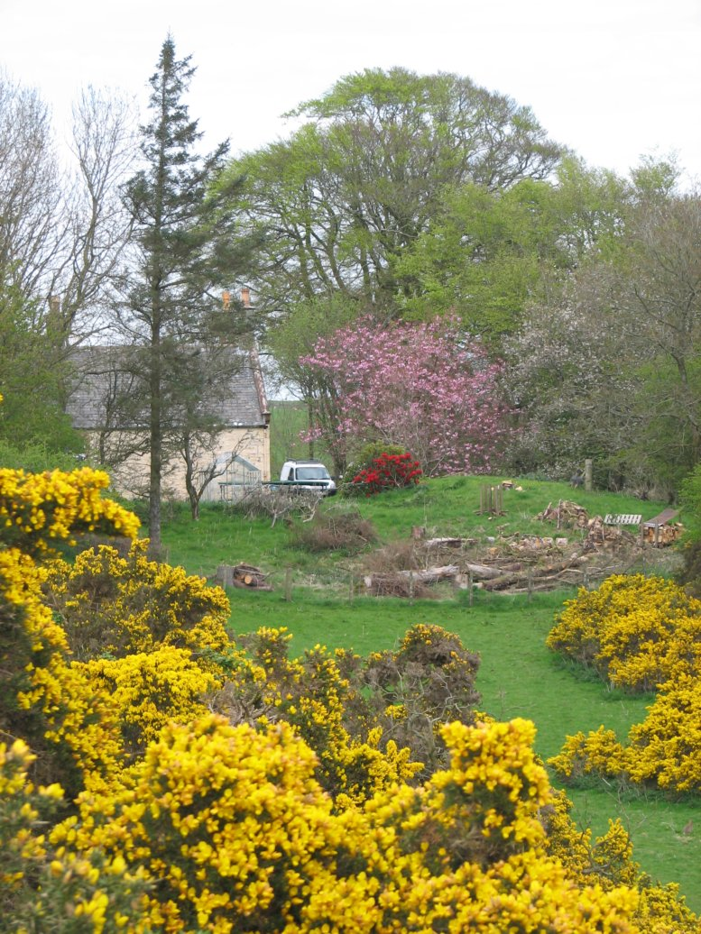 Looking north towards the house from the adjacent footpath, the glorious gorse in full bloom (with our lovely cherry tree in the background)
