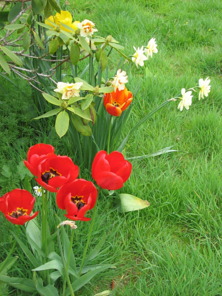 Oh look! More tulips and daffodils! I just loved the vivid colours of the tulips