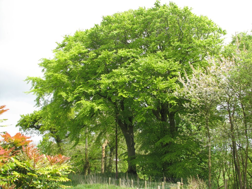 Another glorious beech, this one on the east side of our track