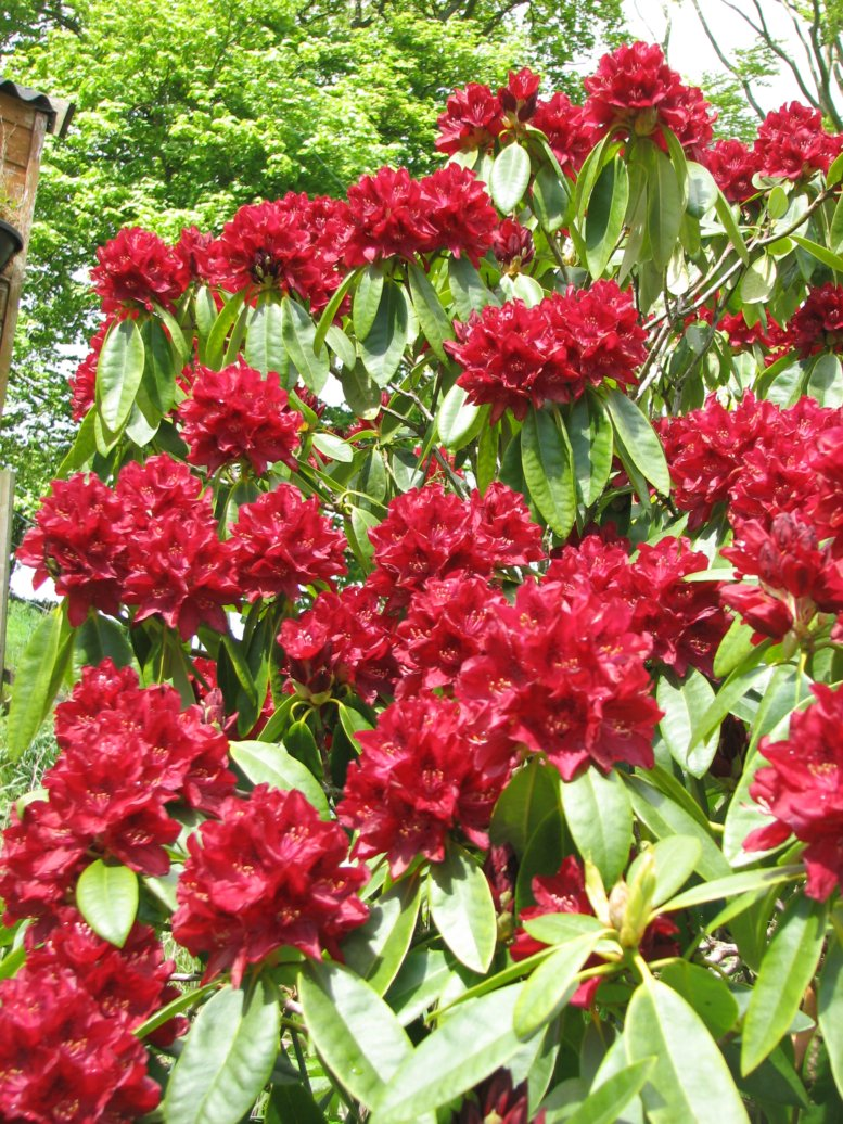 Lots of rhododendrons planted - most in red...
