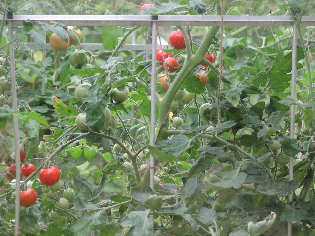 The tomatoes continued cropping merrily (and are still going now)