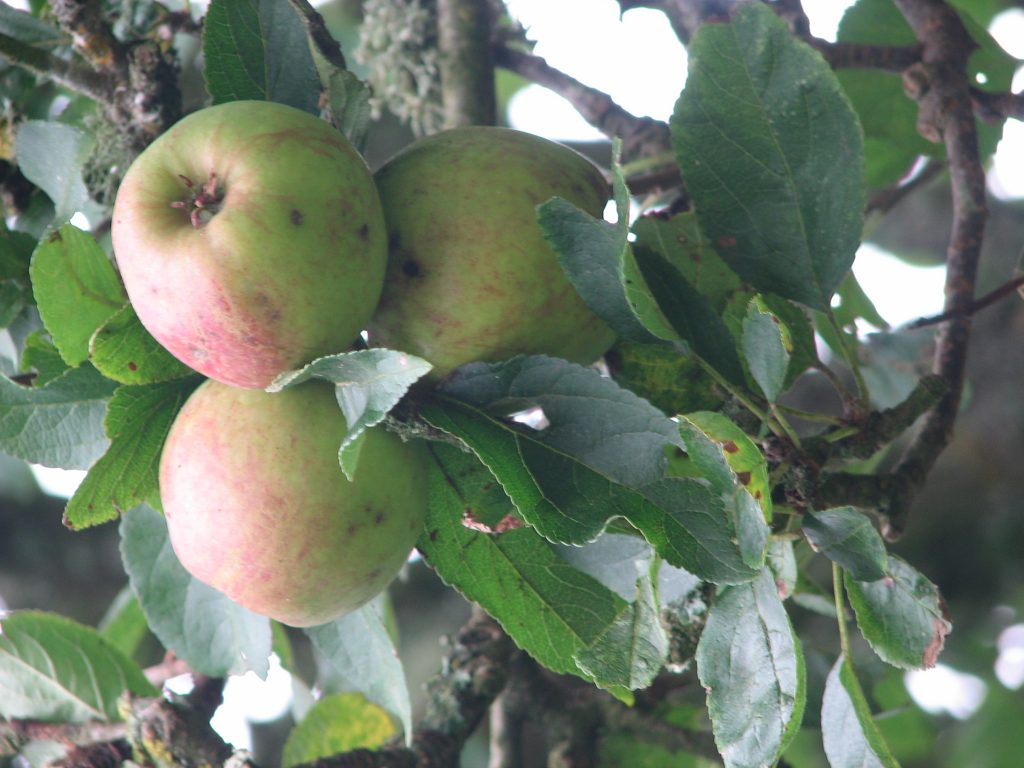 The apples are proving a lovely eater (which also cooks fairly well - at least in my mainly-porridge-based-adventures) and time will tell if it keeps well. It's fairly firm so we're hoping so