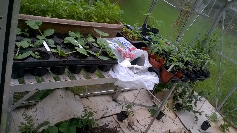 The greenhouse filled with happy squash and courgette plants (after a couple of false starts) plus parsley and tomatoes