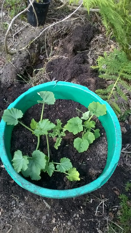 We ended up with surplus courgette plants - so have trialled some in a tub (with a kale plant in the middle)