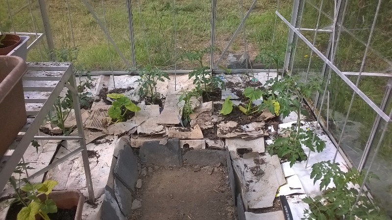 The tomatoes growing merrily