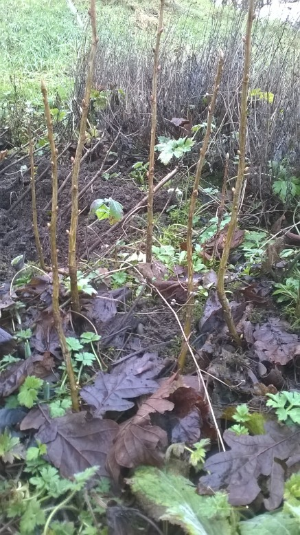 Charney currants that were put in the ground as cuttings last year - and are SO happy this year!