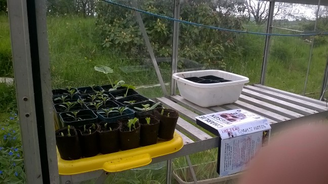 Ruthje tomato seedlings, some gherkins we were given and the first purple podded sugar snap peas