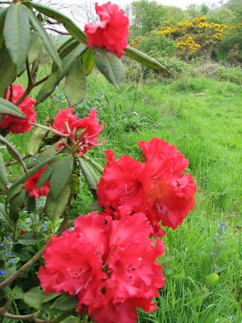 Early-rhodie