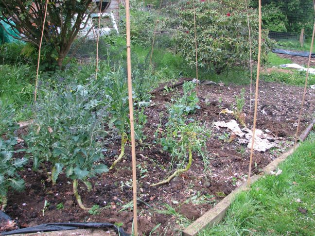 growing-brassicas-3