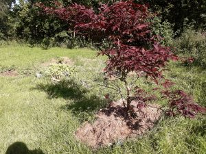You may remember this acer being very pot-bound. Not any more!