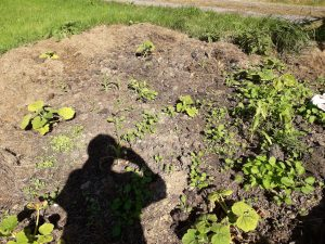 "We opened up this new bed and I trialled the ""three sisters"" approach (of squash, beans and corn). We'd had the muck heap on it previously so I'd thought it would work quite well but actually, likely for a combination of reasons, it didn't particularly flourish. But it was good for silhouette photos ;)"