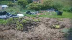 More grass-cutting-mulch in action, this time around courgettes