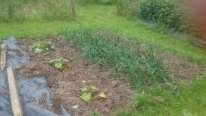 "The ""overflow"" squash plants, along with some onions merrily growing away (I love growing onions - so easy!)"