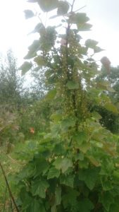 """This red currant was given to us by friends at Laurieston Hall who had extracted it from a stone wall (their """"undesireable"""" was our treasure!) Sadly for us the birds got most of the berries this year"""