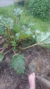 I'm not sure we harvested more than a few sticks of rhubarb last year: aspiring to get more on it this year (2020)