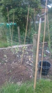 I attempted to plant the peas in succession to keep a crop going all summer, but in truth the early ones just produced way more than the others so I might just go for planting them all up at the same time this year