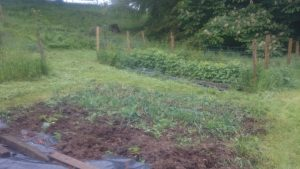 Far end of the tattie bed (welsh onions a-plenty) with the raspberry canes in the background