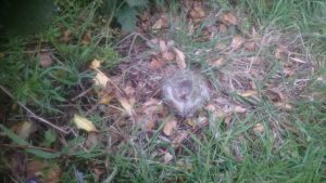 A beautiful little nest that, after it had served its purpose, dropped out of the bush it had been in, just by the peas